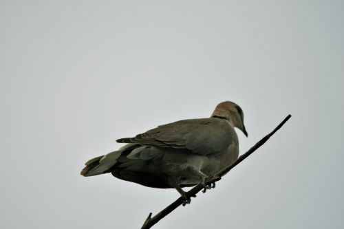 Dove On A Twig