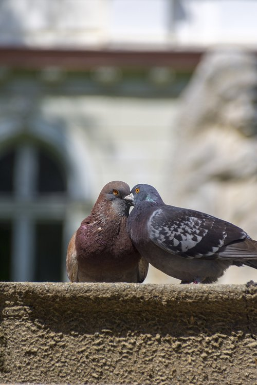 doves  love  peace
