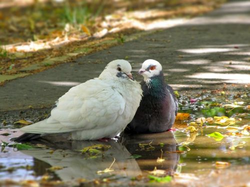 doves birds in pairs