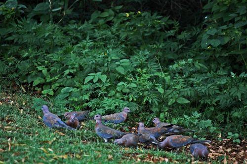 sodas, augmenija, paukščiai, balandžiai, pilka-mėlyna, maitinimas, maitinimas, šerti kalnai