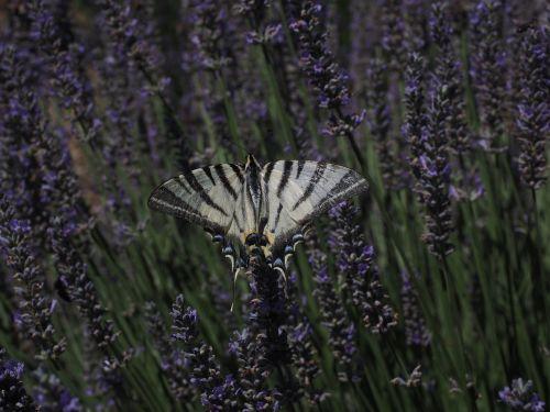 dovetail butterfly swallowtail butterflies