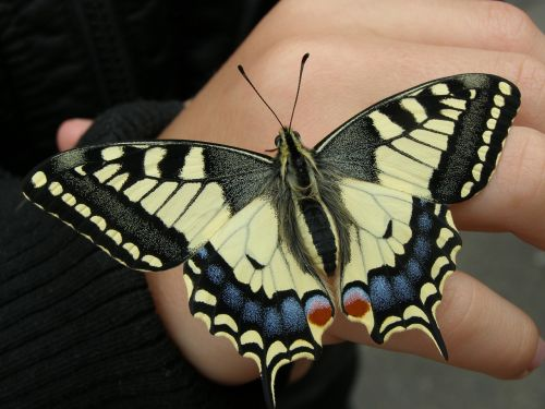 dovetail butterfly nature