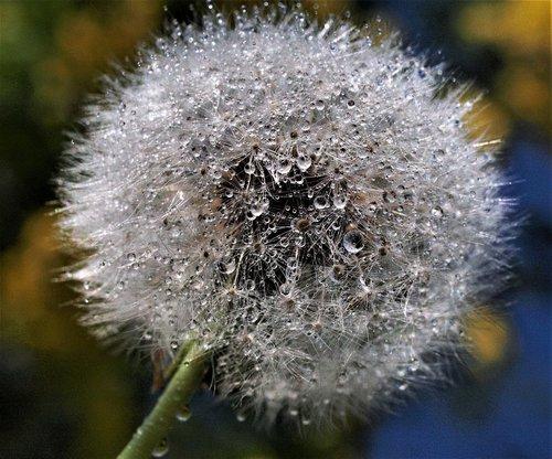 downy  dandelion  seed