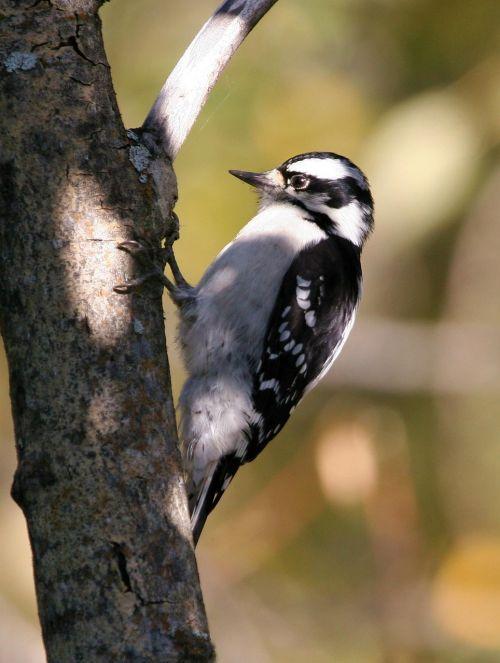 downy bird woodpecker