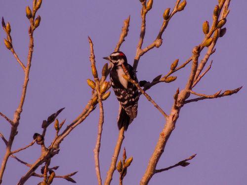 downy woodpecker nature landscape