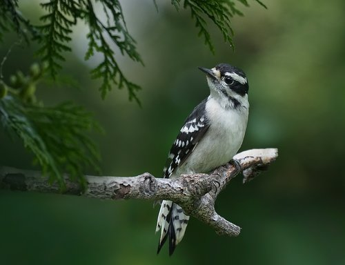 downy woodpecker  birds  woods