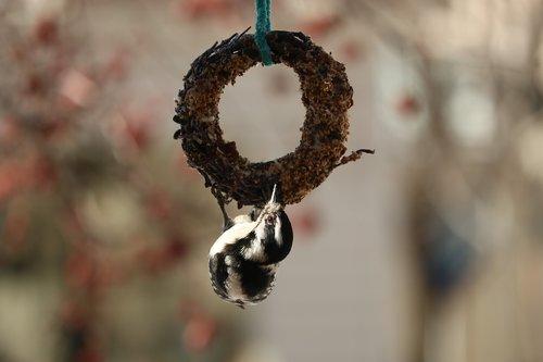 downy woodpecker  birds  woodpecker