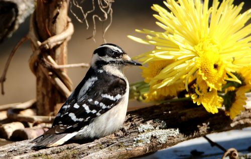 Downy Woodpecker And Yellow Mums