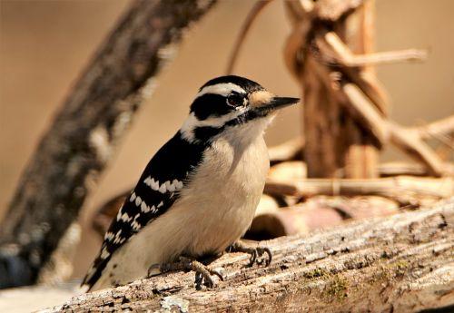 Downy Woodpecker Close-up 2