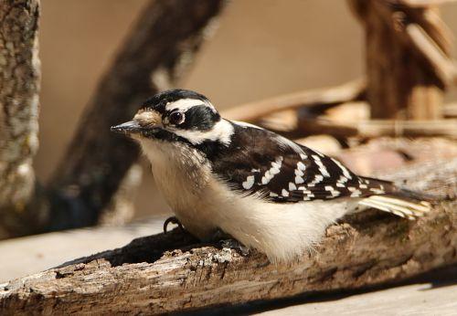 Downy Woodpecker Close-up