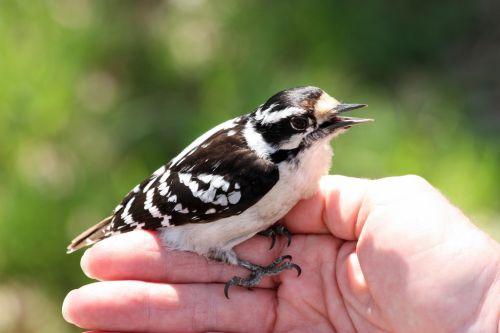 Downy Woodpecker On Woman's Hand
