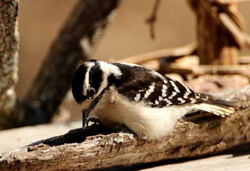 Downy Woodpecker Pecking
