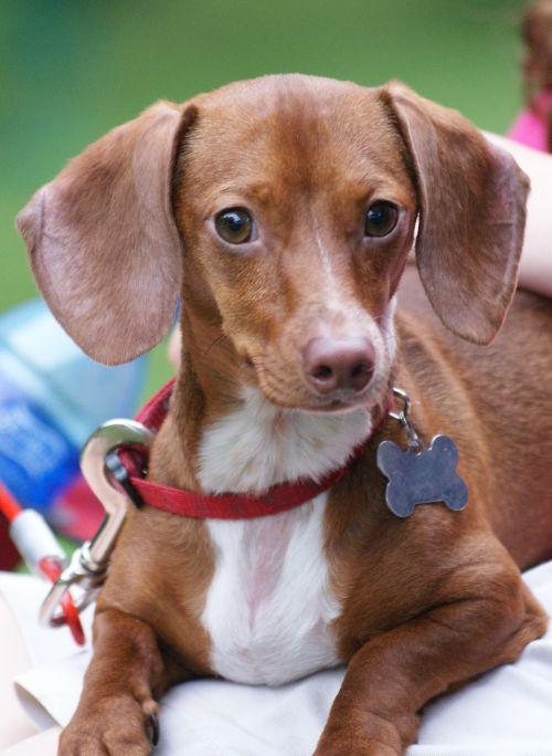 dachshund puppy dog