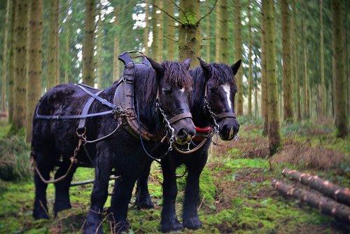 draft horses  the workhorse  horse