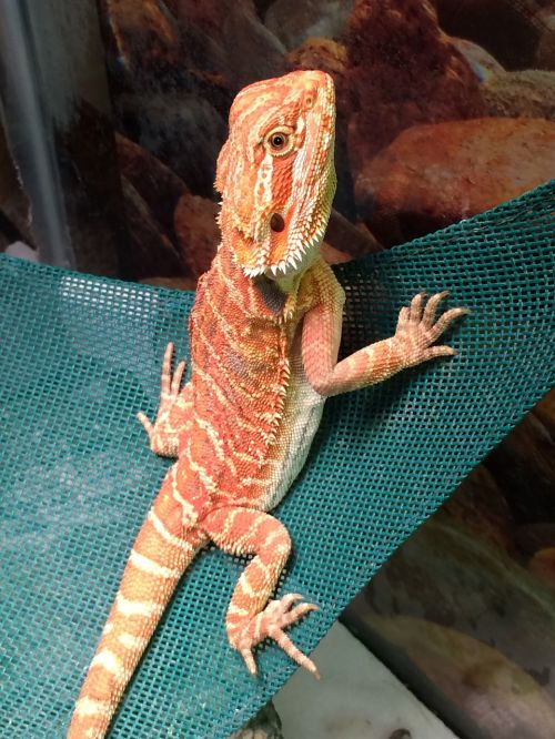 dragon bearded dragon pet