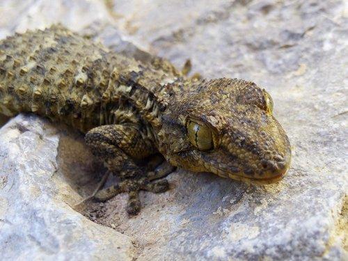 dragon  lizard  gecko