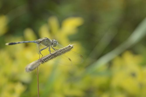 dragon fly dry grass field insect