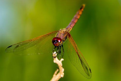 dragon fly uganda nature