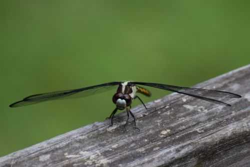 dragon fly insect flying insect