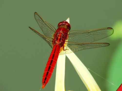 dragon fly red single