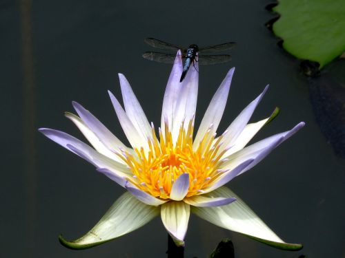 dragon fly lily flower