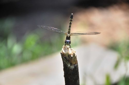 dragon fly insect fly