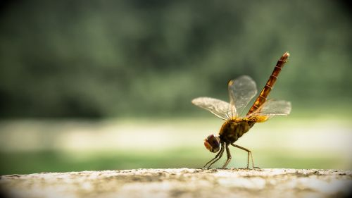 dragon fly insect dragonfly
