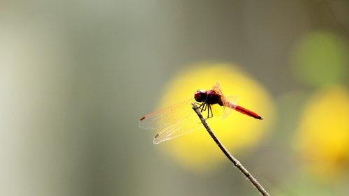dragon fly  crimson  red