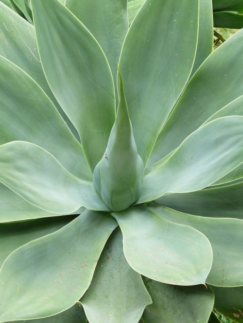 dragon tree-agave leaves plant