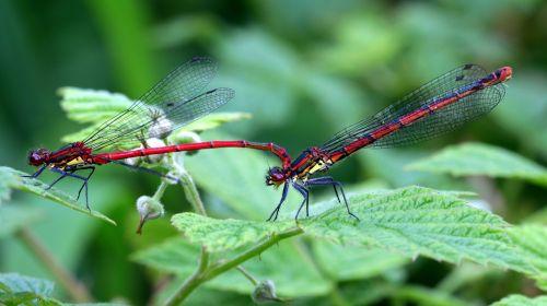 dragonflies odonata early adonis maiden