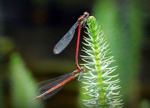 dragonflies dragonflies mating pairing
