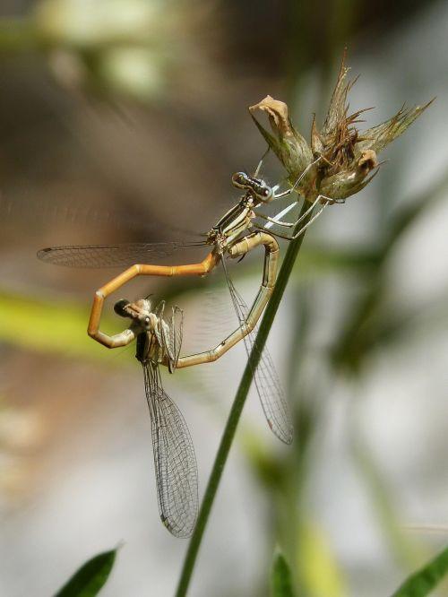 dragonflies reproduction copulation