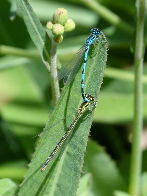 dragonflies mating mate