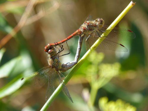 dragonflies copulation dragonflies mating