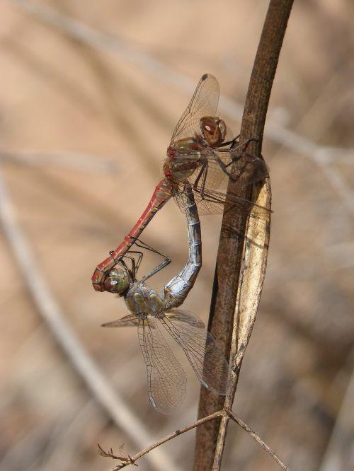 dragonflies couple copulation