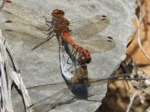 dragonflies insects mating copulation