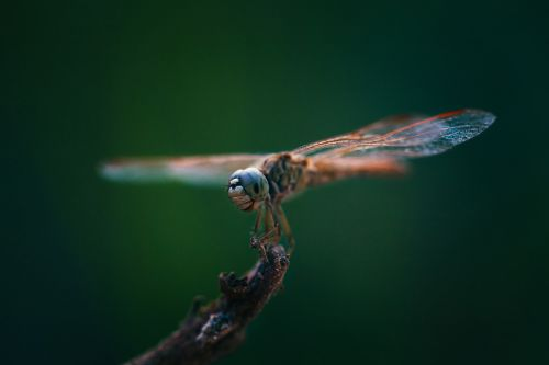 dragonflies insects close-up