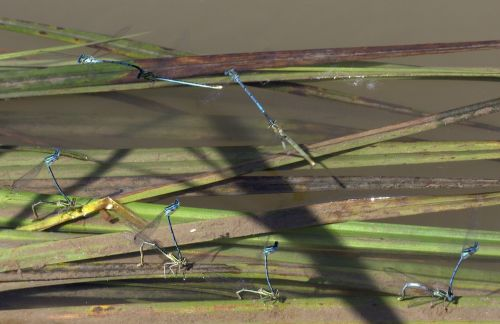dragonflies mating water