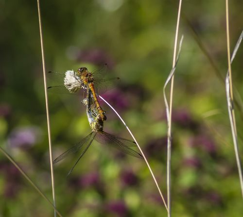 dragonflies common darter insect