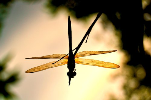 dragonflies  andarinyo  indonesia