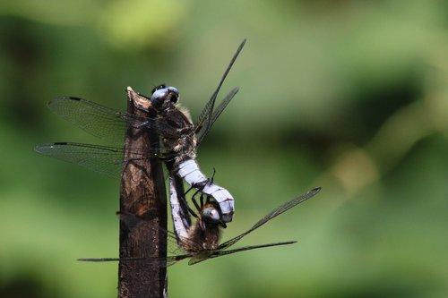 dragonflies  multiplication  nature