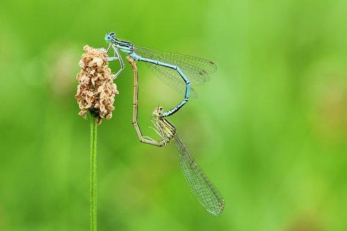 dragonflies  pairing  nature