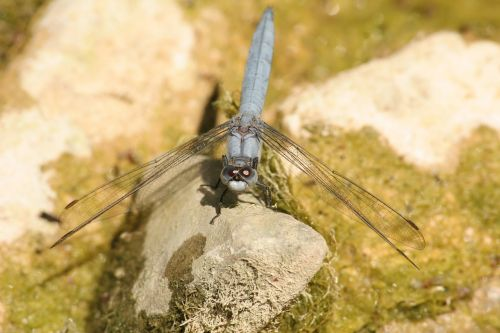 dragonflies insects nature