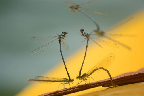 dragonflies playback insect