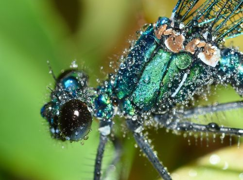 dragonflies maid calopteryx