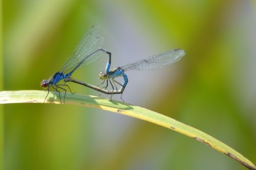 nature dragonflies pairing