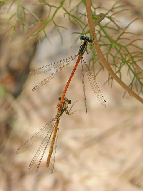 dragonflies mating dragonflies copulation