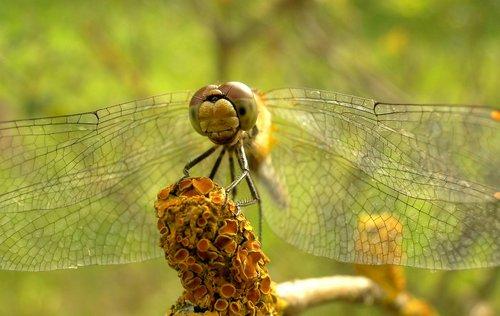 dragonflies różnoskrzydłe  nature  animals