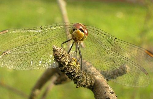 dragonflies różnoskrzydłe  insect  nature