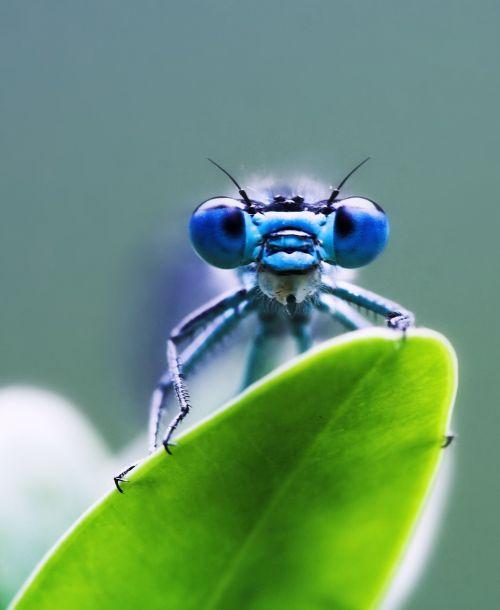 dragonfly green blue